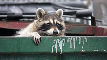 Raccoon climbing out of trash dumpster